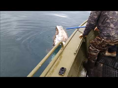 Halibut Fishing Cold Bay AK