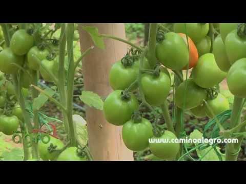 Como Producir Tomate Organico