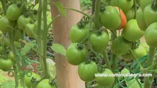 Como producir tomate organico thumbnail