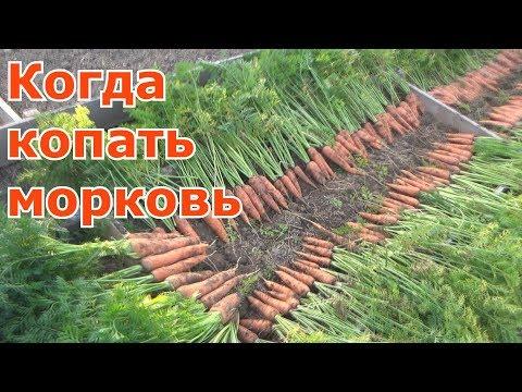 Как собирать морковь