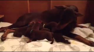 Puppy Development And Socialization #3b