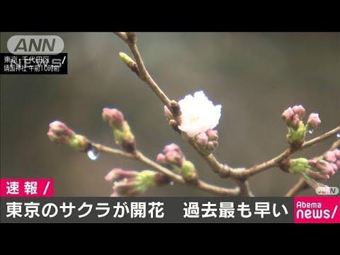 ソメイヨシノ 開花