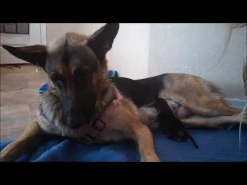 Our German Shepherd gives birth to 7 puppies