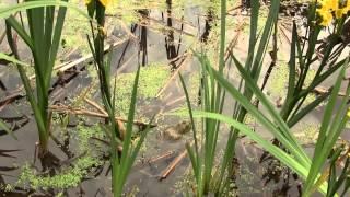 Лягушка-бык. Bullfrog