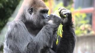 仙台市八木山動物公園のゴリラ「ドン」は日本最高齢。41年もこの動物園...