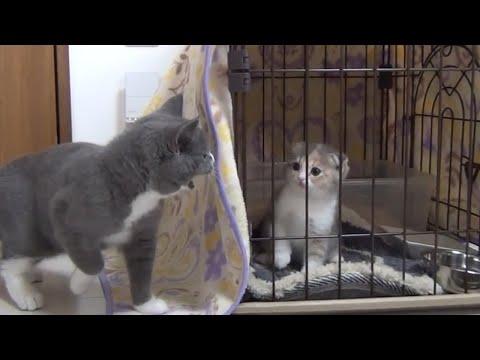 先住猫すずがブチギレ!新しい家族がやってきた!