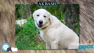 Akbash  Everything Dogs