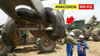 Anaconda 400 Kg Ditangkap! 8 Hewan Berukuran Besar Ini Ga Nyangka Bakal Ditangkap Manusia!