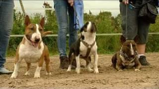 """Mini Bull Terriers Videoproducties Weshootit """"wandeling"""" Promotiefilm Nmbtc"""