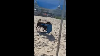 Dog Carrying a Chair at the Beach to Bring It to Owner