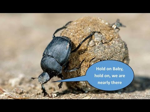 Dung Beetle Rolling Massive Dung Ball (POOP) Amazing Footage.