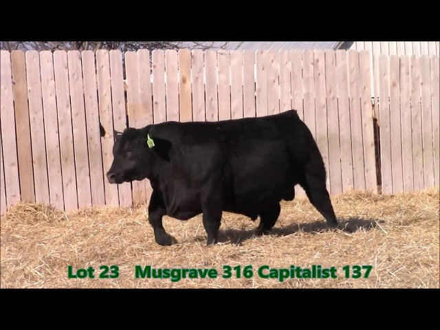 Musgrave Angus Lot 23