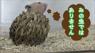 暇そうなキンクマさんに丸かごの巣箱を与えてみました。予想はしていま...