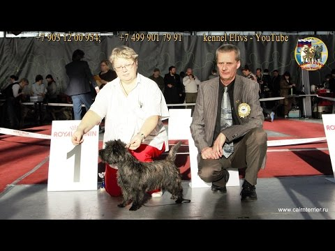 Specialty show Cairn terrier Club Winner Russia 2016 11