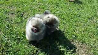 Geschwisterliebe: Pomeranian Puppies, Wolf- Sable