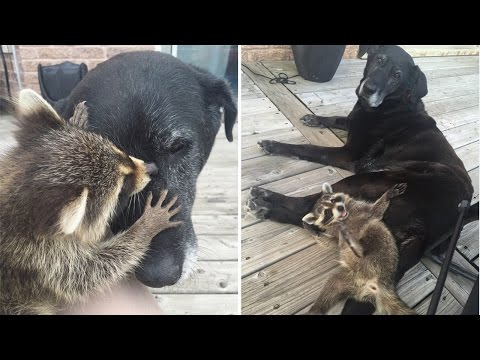 Elderly Dog Adopts Baby Raccoon After His Mom Died