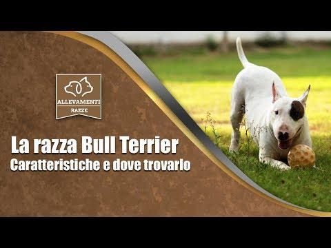 Il Bull Terrier - Caratteristiche e dove trovarlo - Documentario di Allevamenti Razze