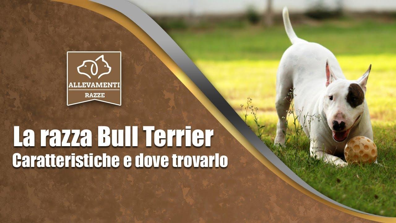 E Cattivo Il Bull Terrier Il Bull Terrier - Cara...