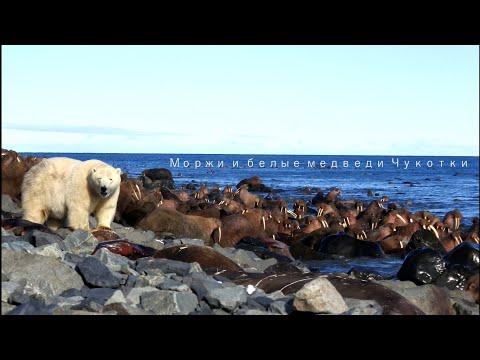 Моржи и белые медведи Чукотки