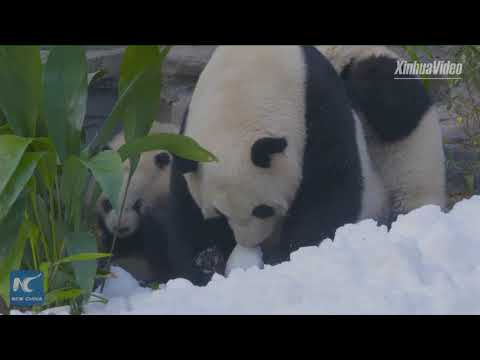 So cute! Giant pandas join in Chinese New Year celebrations