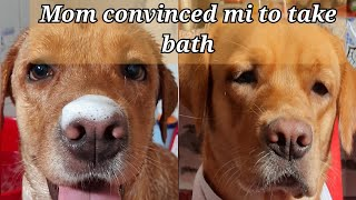 Tricks to convince your dog to take bath| Bushy, the labrador
