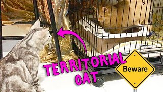 Territorial Cat Behavior - Introducing A New Cat At Home
