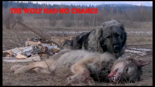 Top 5 dogs capable of killing a wolf alone ! WOLFHOUNDS!