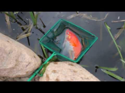 Запуск золотых рыбок в свой пруд на даче