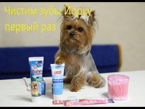 Как чистить зубы йорку первый раз