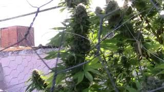 Cuándo se puede cortar marihuana.