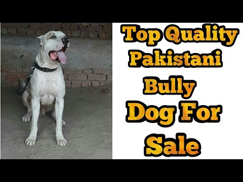 Pakistani Bully Adult Dog For Sale Indian Mastiff For Sale Indian Mastiff Dog For Sale Youtube