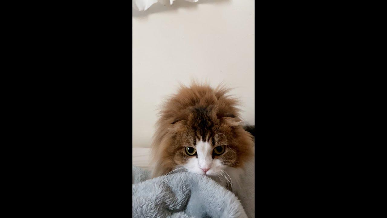 隣でもみもみして爪を出してから頭に突撃する猫 #shorts