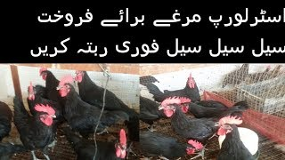 australorp chickens for sale in pakistan,Australorp Hen Farming in Pakistan,