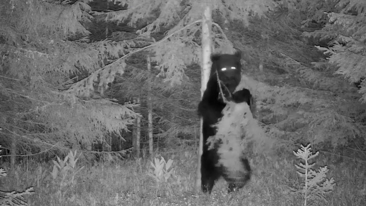 משעשע: דוב בר מצחיק מציג מהלכי ריקוד כאילו אין מחר