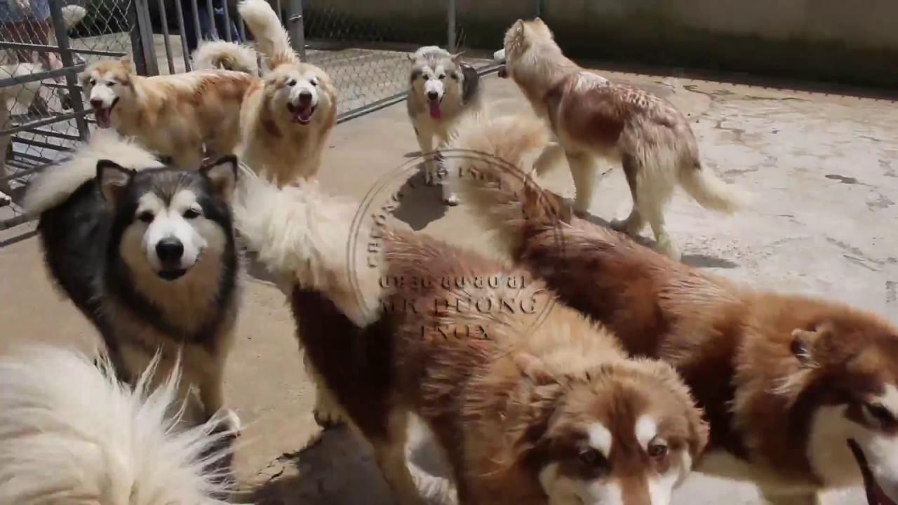 Tham quan Trại chó Alaska triệu đô tại Đà Lạt rộng 12000m² – Dalat Dog Shop