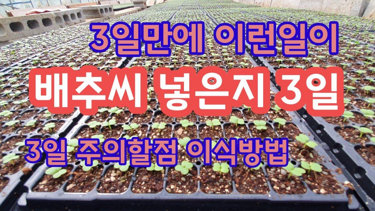 배추씨 넣은지 3일 폭풍성장 [배추재배방법]