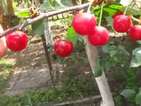Лучшие сорта вишни для средней полосы России фото