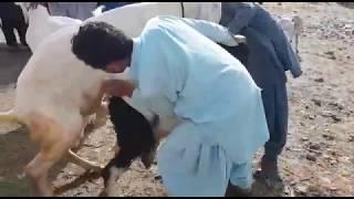 Bakri cross ho rahi hai | goat meeting