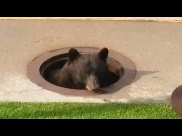 Bear Jumps Out of Colorado Manhole And Runs