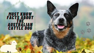 Getting To Know Your Dog's Breed: Australian Cattle Dog Edition