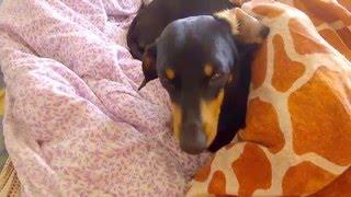 Чакра и Перс обожают спать в кровати