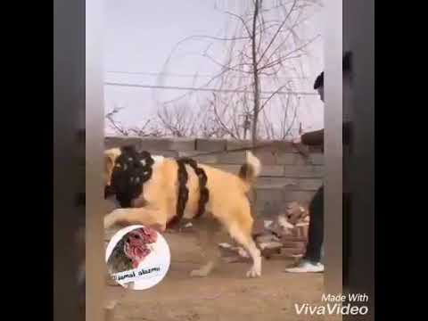 Most Dangerous Dogs  Fighting /compilation