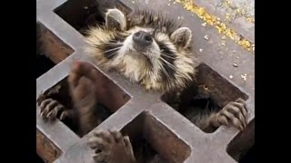 Raccoon Rescued From Sewer Grate