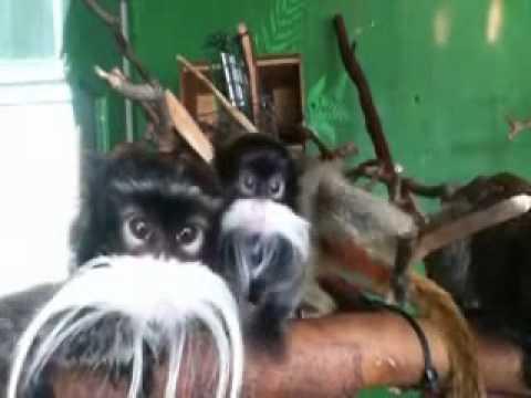 Funny Monkey Song: Mustache Monkeys by Bryant Oden