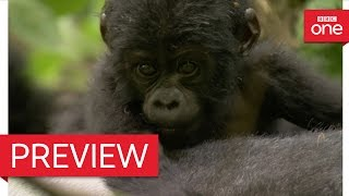 Silverback dad defends baby mountain gorilla - Animal Babies: Episode 3 Preview - BBC One(Programme website: http://bbc.in/2d70MuH A young mountain gorilla depends on his personal body guard to keep him safe., 2016-10-12T14:11:05.000Z)