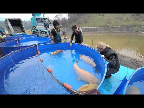 Konishi Koi Farm - Super Jumbo Karashigoi: 90 - 110 cm