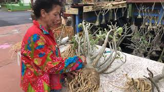 It's not impossible to save your desert roses from root rot