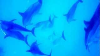 Spinner Dolphins Underwater at Midway Atoll National Wildlife Refuge