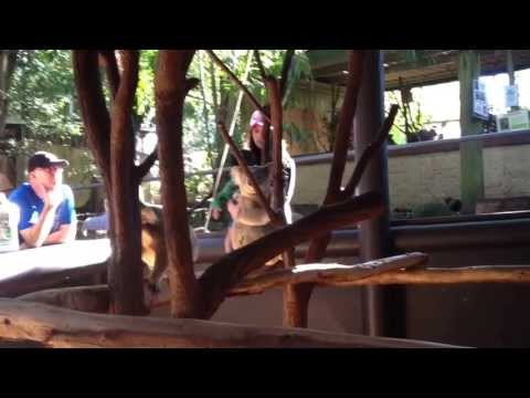 Koalas moving about at Lone Pines Sanctuary