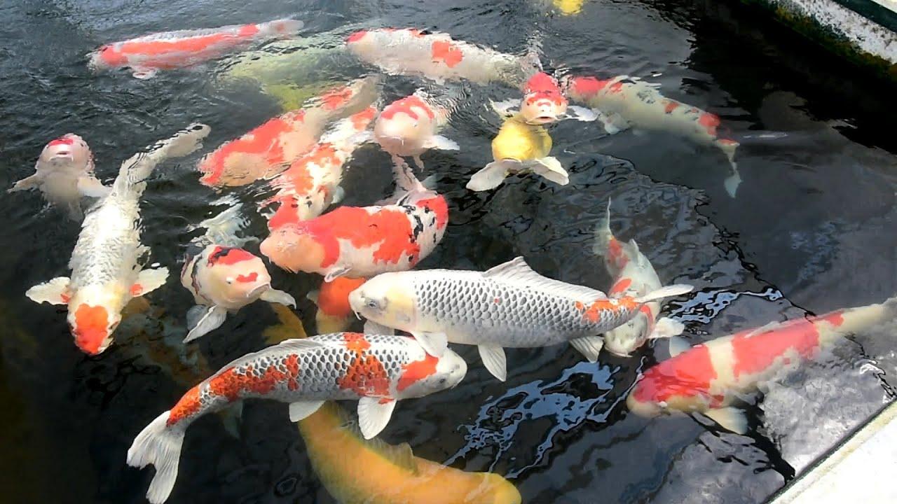 Modern koi blog 928 live from japan die zucht von for Modern koi blog